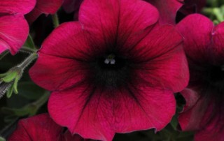 Easy Wave Burgundy Velour Petunia