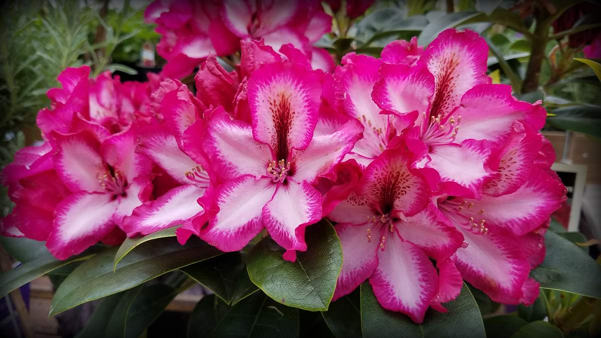Rhododendron Pomegranate Splash
