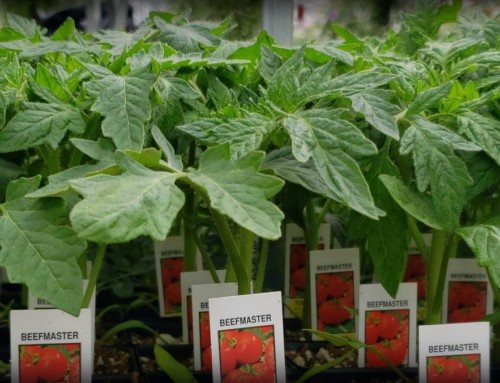 Tomato Days 2020: 49-Cent Tomato Starts!